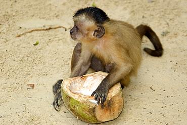 Tufted capuchin (Cebus apella) eating a coconut, Preguicas river, Maranhao, Brazil, South America