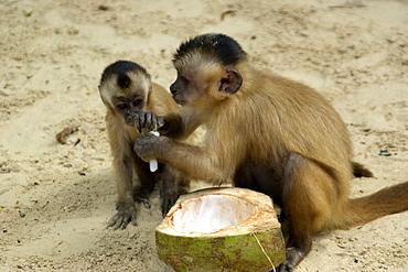Tufted capuchins (Cebus apella) eating a coconut, Preguicas river, Maranhao, Brazil, South America