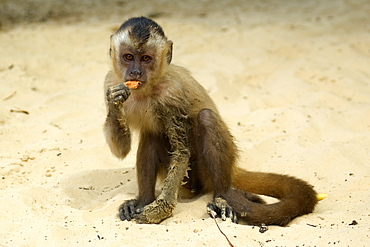 Tufted capuchin (Cebus apella) eating a tangerine, Preguicas river, Maranhao, Brazil, South America