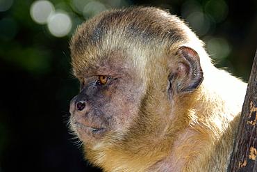 Tufted capuchin (Cebus apella),Preguicas river, Maranhao, Brazil, South America
