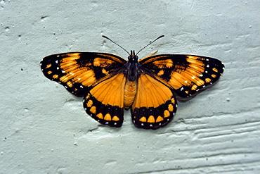 Butterfly, Vicosa, Minas Gerais, Brazil, South America - 920-941