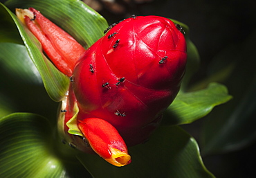 Macro shot, flower bud and ants, Khao Sok National Park.   Surat Thani, Thailand, South-East Asia, Asia