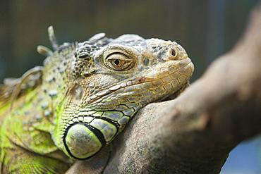 Captive, Green Iguana, Wildlfie display at the KL Tower.  Kuala Lumpur, Selangor, Malaysia, Asia
