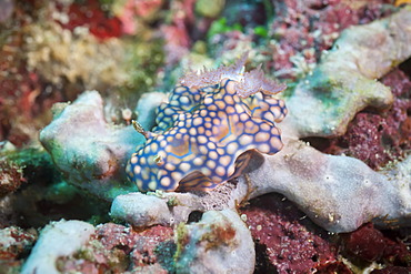 Chromodoris kuniei, a nudibranch, Southern Thailand, Andaman Sea, Indian Ocean, Southeast Asia, Asia