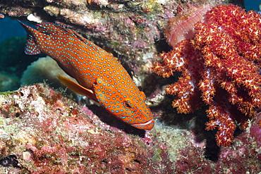 Coral Hind, (cephalopholis), Southern Thailand, Andaman Sea, Indian Ocean, Asia