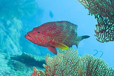 Coral Hind (cephalopholis), Southern Thailand, Andaman Sea, Indian Ocean, Asia