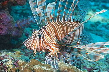 Scorpionfish (common lionfish) (Pterois miles), Southern Thailand, Andaman Sea, Indian Ocean, Asia