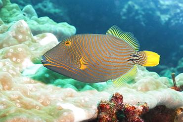 Orange Lined Triggerfish (Balistapus undulatus), Southern Thailand, Andaman Sea, Indian Ocean, Asia