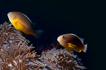 Anemonefish (Amphiprion ocellaris) and sea anemone, Southern Thailand, Andaman Sea, Indian Ocean, Southeast Asia, Asia
