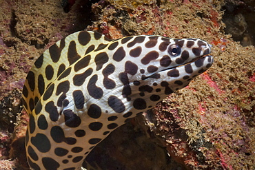 Spotted moray (Gymnothorax isingteena), SouthernThailand, Andaman Sea, Indian Ocean, Southeast Asia, Asia