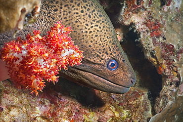 Giant moray eel (Gymnothorax javanicus), Southern Thailand, Andaman Sea, Indian Ocean, Southeast Asia, Asia