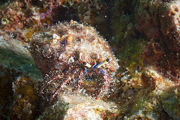 Hairy hermit crab (Aniculus elegans), SouthernThailand, Andaman Sea, Indian Ocean, Southeast Asia, Asia