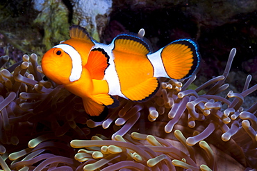 Western clown anemonefish (Amphiprion ocellaris) and sea anemone (Heteractis magnifica), Southern Thailand, Andaman Sea, Indian Ocean, Southeast Asia, Asia