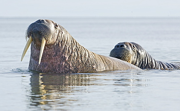 Walrus (Odobenus rosmarus), Rookery, Haul Out, Colony. Longyearbyen, Svalbard, Norway