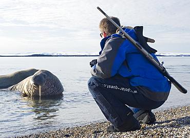 Walrus (Odobenus rosmarus), Rookery, Haul Out, Colony, man, gun, scout, guuide. Longyearbyen, Svalbard, Norway