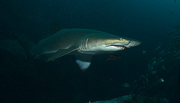 Grey Nurse Shark (Ginglymostoma cirratum). South West Rocks, NSW, Australia