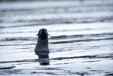 Steller Sea Lions (Eumetopias jubatus). Kuril Islands, Russia
