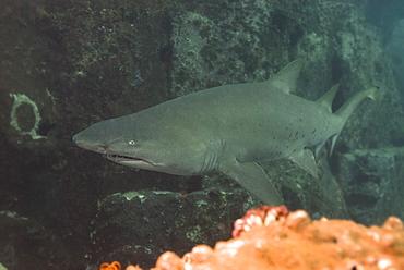 Grey Nurse shark (Ginglymostoma cirratum). South West Rocks, NSW, Australia      (rr)