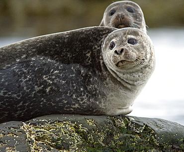 Harbour Seal (Phoca vitulina) Rookery. Svalbard, Norway