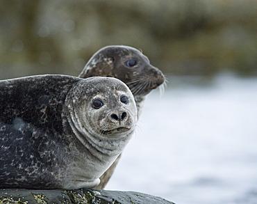 Harbour Seal (Phoca vitulina) Rookery. Svalbard, Norway     (rr)