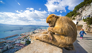 The Rock, Pillar of Hercules or Calpe, Barbary Macaques. City Of Gibraltar, Apes Den, Gibraltar Strait . UK