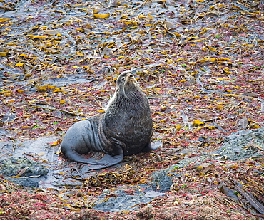 Wild Large Male Northern fur seal ( Callorhinus ursinus ), Solo,  Endangered, part of massive colony, being territorial, Bering Islands (Bering Sea), Russia, Asia.