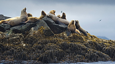 Wild Adult  Females Steller sea lions (Eumetopias jubatus), endangered, colony, rookery, haul out, raft, above water. Bering Islands (Bering Sea) Russia, Asia.  MORE INFO: This sea lion in the largest member of the eared seals.