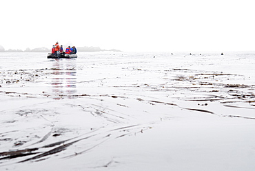 Zodiacs with tourists with Wild Stella sea lions (Eumetopias jubatus), Endangered,  Bering Islands (Bering Sea), Russia, Asia.
