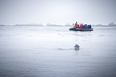 Zodiacs with tourists with Wild Female Stella sea lion (Eumetopias jubatus), Endangered, Solo,  Bering Islands (Bering Sea), Russia, Asia.  MORE INFO:  This sea lion in the largest member of the eared seals.