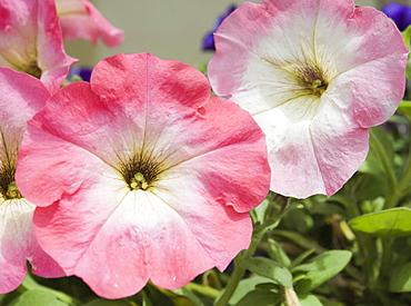 Petunias (Petunia x hybrida) at the Botanical Gardens Sapporo (Hokkaido) Japan, Asia