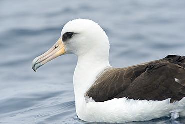 Wild Male Short-tailed Albatross or Steller's Albatross (Phoebastria albatrus) Solo, Endangered. Shimushir Island (Bering Sea), Russia, Asia