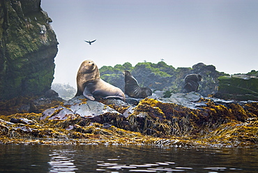 Wild Adult Male and Female, Steller sea lions (Eumetopias jubatus), endangered, colony, rookery, haul out, raft, above water. Bering Islands (Bering Sea) Russia, Asia.  MORE INFO: This sea lion in the largest member of the eared seals.