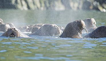 Wild Males Walrus (Odobenus rosmarus), Endangered, Haul out, colony, Bogoslov Island (Bering Sea) Russia, Asia