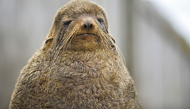 Wild female Northern Fur seal (Callorhinus ursinus), Endangered,  rookery, haul out, Colony,  Tyuleniy Island (Bering Sea), Russia, Asia