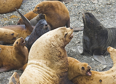 Wild Adult  Male and Female, Steller sea lions (Eumetopias jubatus), and Northern Fur Seal, endangered, colony, rookery, haul out, raft, above water.Bering Islands (Bering Sea) Russia, Asia.  MORE INFO: This sea lion in the largest member of the eared seals.