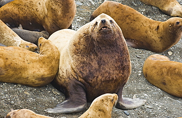 Wild Adult  Male and Female, Steller sea lions (Eumetopias jubatus), endangered, colony, rookery, haul out, raft, above water.Bering Islands (Bering Sea) Russia, Asia.  MORE INFO: This sea lion in the largest member of the eared seals.