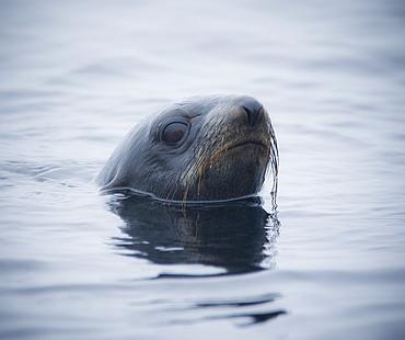 Wild Large Male Northern fur seal ( Callorhinus ursinus ), Solo, In water, Endangered, part of massive colony. Srednego Island (Bering Sea), Russia, Asia