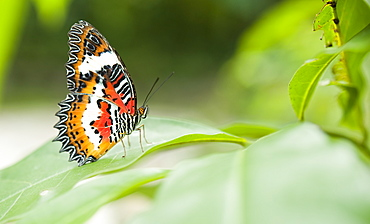 Butterfly at the Butterfly Farm.  Poring Hot Springs, Sabah, Borneo, Asia - 921-954