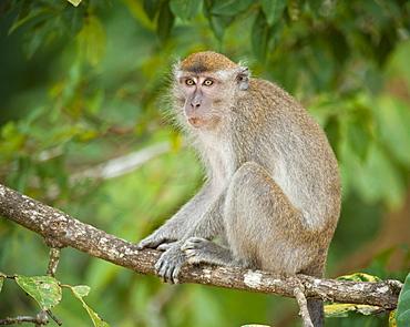 Wild Long Tailed Macaque (Macaca Fascicularis).  Kinabatanga Jungle, Sabah, Boneo, Asia