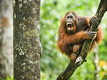 Wild Adult Male Orangutan (Pongo Pygmaeus). Endangered.   Sepilok Orangutan Rehabilitation Centre, Sandakan, Sabah, Malaysia