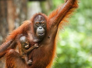 Wild Adult Female and Baby Orangutans (Pongo Pygmaeus). Endangered.   Sepilok Orangutan Rehabilitation Centre, Sandakan, Sabah, Malaysia