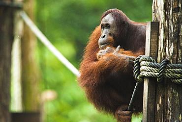 Wild Adult Male Orangutans (Pongo Pygmaeus). Endangered.   Sepilok Orangutan Rehabilitation Centre, Sandakan, Sabah, Malaysia