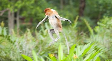 Wild Adult Proboscis Monkey (Nasalis larvatus). Endangered.; Sepilok Orangutan Rehabilitation Centre; Sandakan; Sabah; Borneo; Malaysia