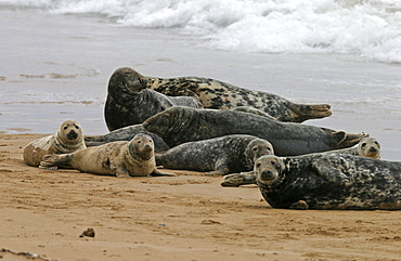 Atlantic grey seal (Halichoerus grypu) haul out site with males, females and youung together. NE Scotland    (RR)