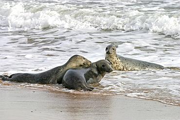 Male Atlantic grey seal (Halichoerus grypu) with two female seals. NE Scotland   (RR)