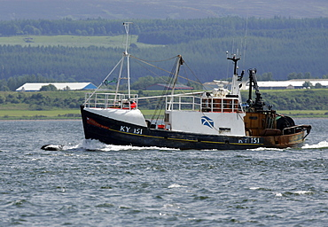 A Bottlenose Dolphin (Tursiops truncatus) bowriding with a fishing trawler near Chanonry Point, Moray Firth, Scotland