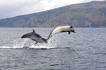 A pair of young Bottlenose dolphins (Tursiops truncatus) breaches from the water, Moray Firth, Scotland showing cliffs and coastline in the background.