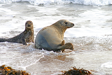 Female Atlantic grey seal (Halichoerus grypu) with her pup. NE Scotland   (RR)