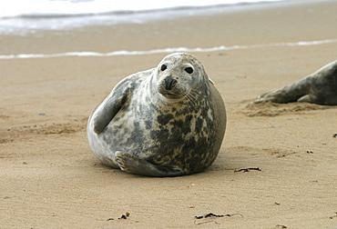 Atlantic grey seal (Halichoerus grypu) at haul out site. NE Scotland   (RR)