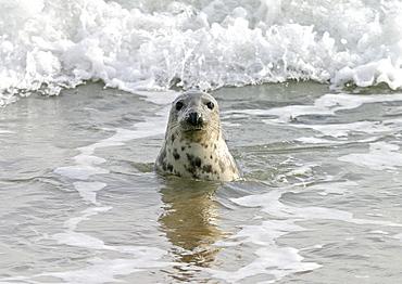 Atlantic grey seal (Halichoerus grypu) in surf. NE Scotland   (RR)